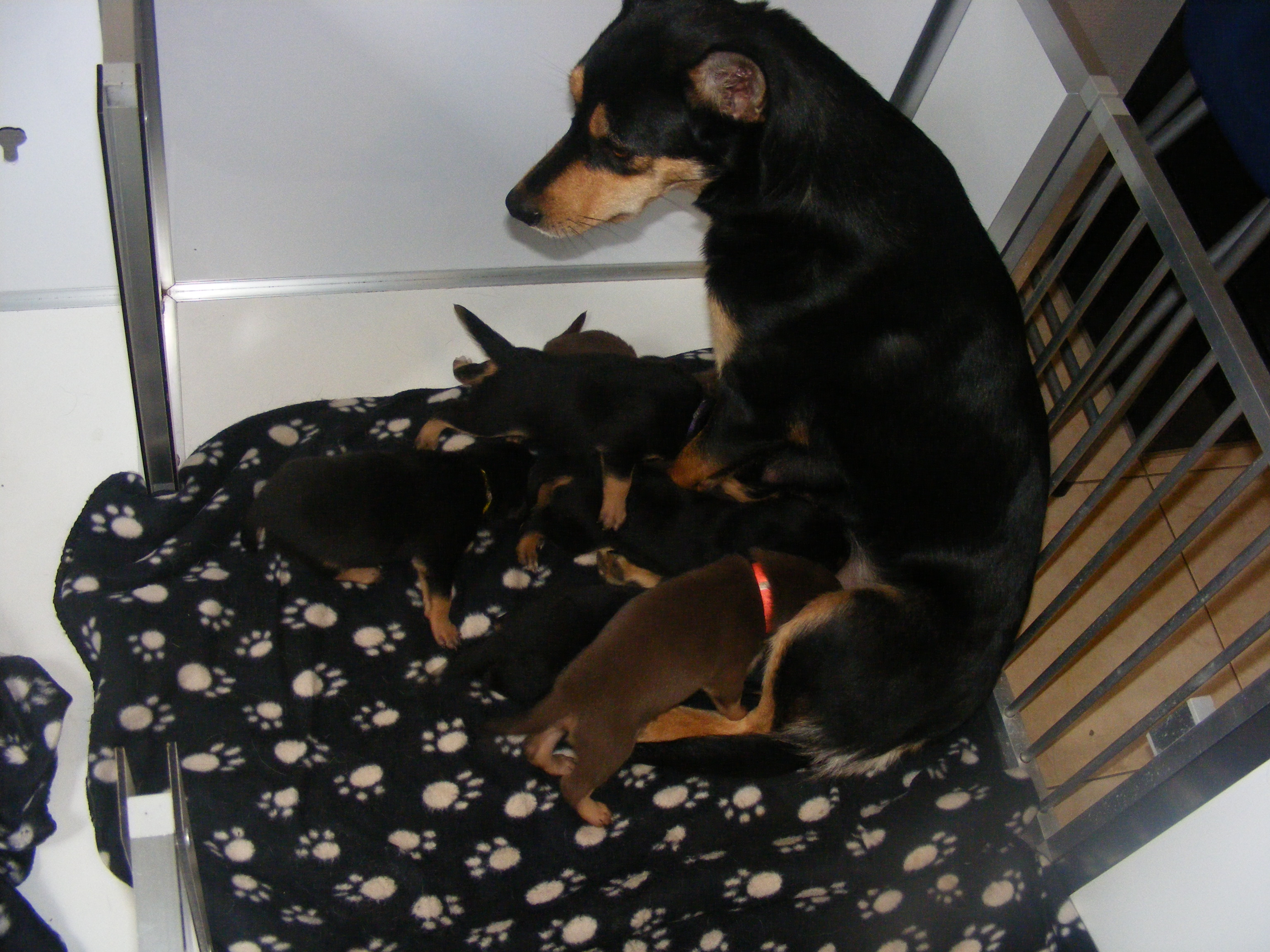 working kelpie pups