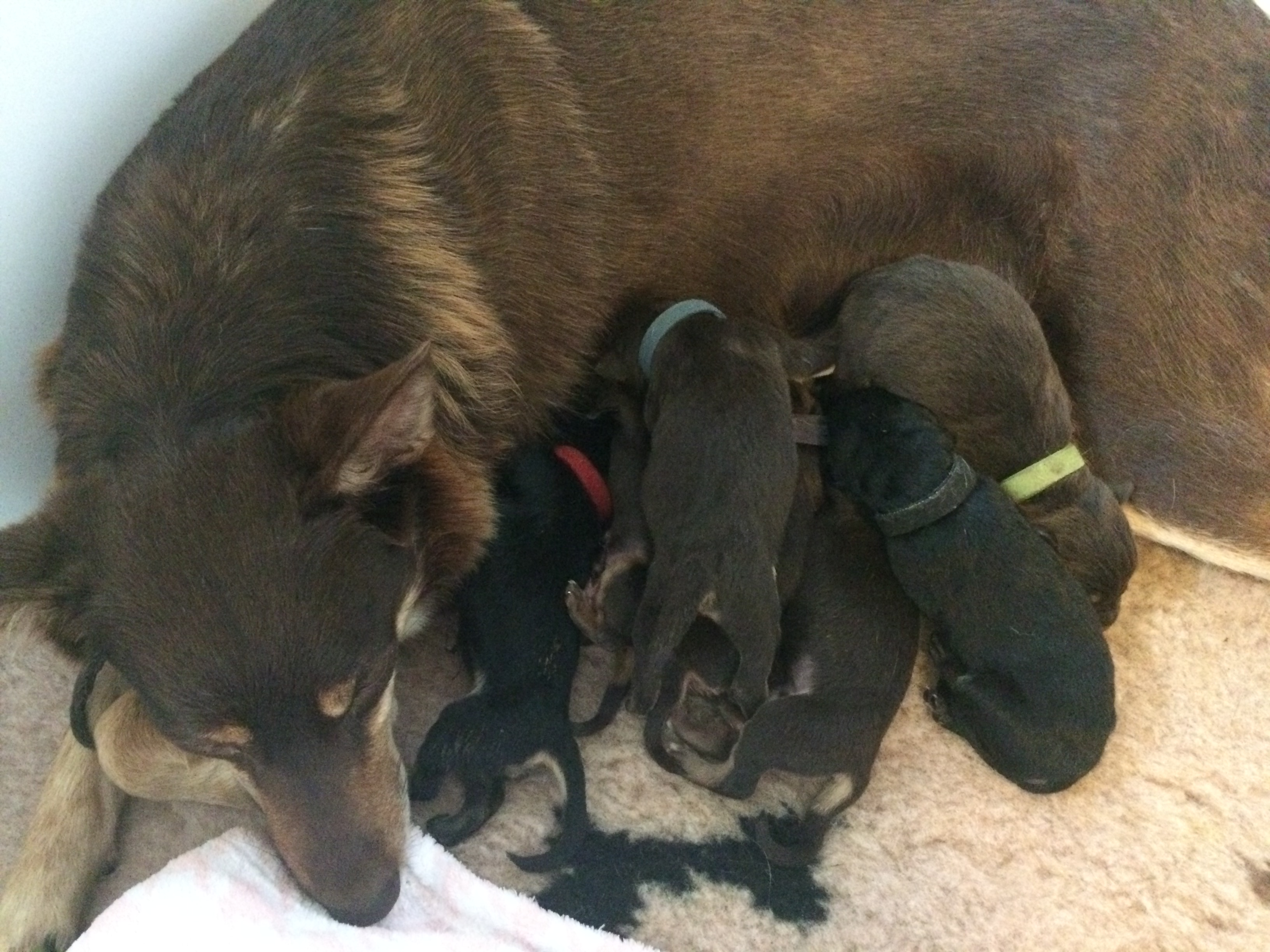 Bahou Working Kelpie pups